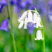 White in the bluebells